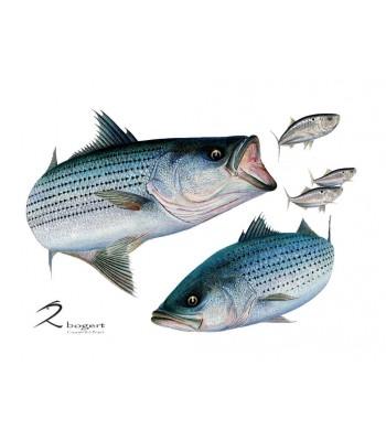 Linesiders Striped Bass